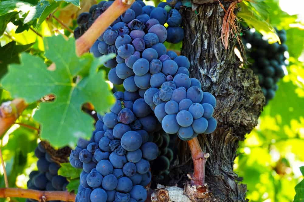 Why the U.S. is a Global Leader in Grapes